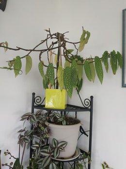 bégonia maculata