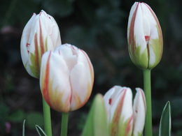 qq tulipes de mn jardin