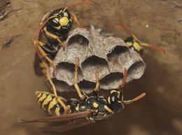 Abri à insectes : osmies, les abeilles, les guêpes, les bourdons et les syrphes