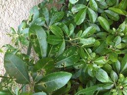 Parasite - Trous dans les feuilles