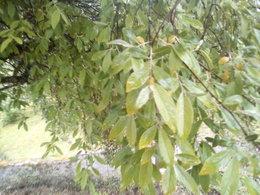 arbre goumi