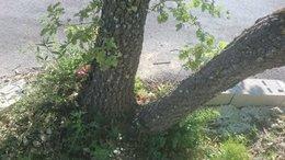 Supprimer souche de chêne blanc
