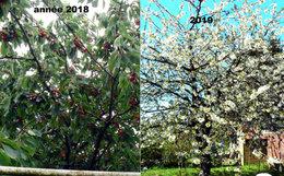 Taille cerisier et poiriers