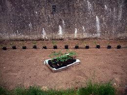 semis successif haricots