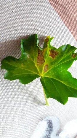 Taches marrons sur feuilles géranium lierre