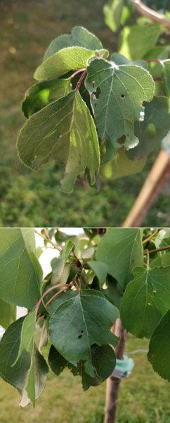 trous dans les feuilles de mon abricotier