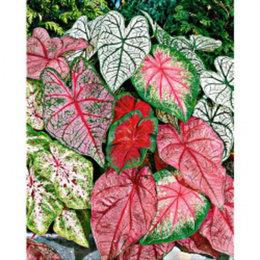 Mais où trouver des caladiums et autre plante tropical