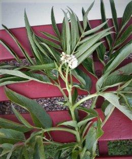Merci de bien vouloir identifier cette plante