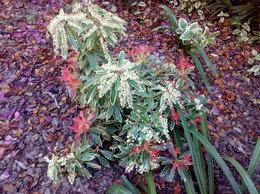 Pieris japonica - Andromède