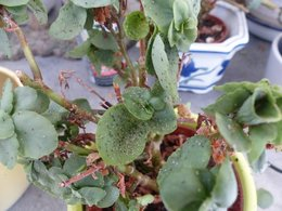 Plantes infectées par ?