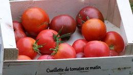 Quelle variété de tomate ????