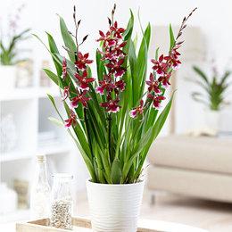 Quelle est cette Orchidée?