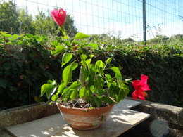 Boutures d'hibiscus ?