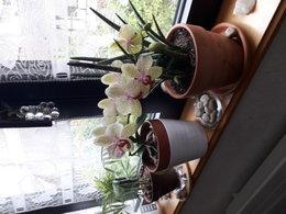 Paphiopedilum - Orchidée