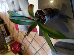 Orchidée malade ?