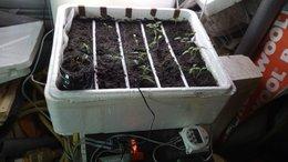 Faites-vous vos semis de tomates ?