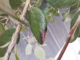 Tâches feuilles Feijoa Sellowiana
