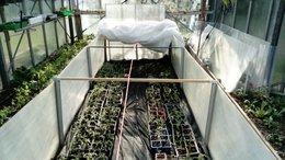 Semis et rempotage tomates