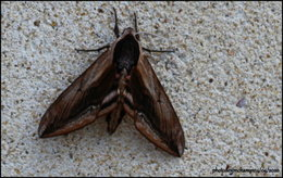 Connaissez vous ce papillon ?