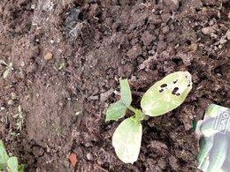 plant mourrant