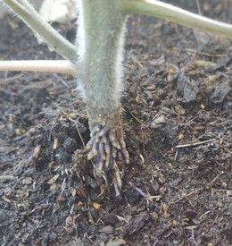 Petite question sur plant tomate