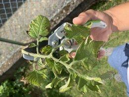 Mes plants de tomates sont-ils malades ?