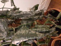Les feuilles de mon pothos s'enroulent