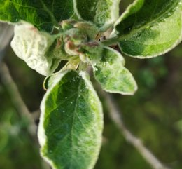 Billes transparentes sur feuilles recroquevillées de pommier