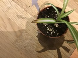 Chlorophytum mal en point