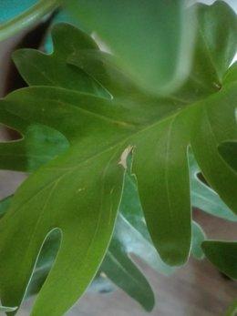 Philodendron Xanadu malade ?
