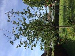 Cerisier pauvre en feuilles