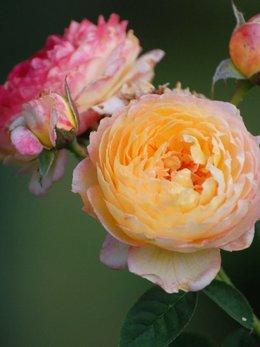 Bouture rosier Generosa Rosomane Janon