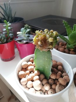 Cactus fraise change de couleur