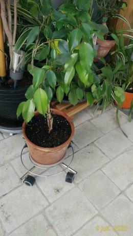 Mon super Ficus Benjamina