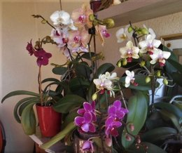 Orchidée mal en point ..