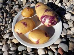 Faire ses graines de pommes de terre