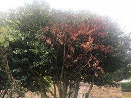 Arbre inconnu et maladie qui brule les branches :(
