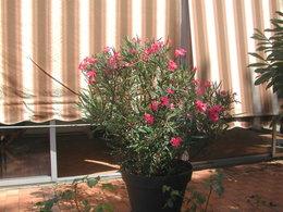 PProblème : un laurier rose en pot dont les branches tombent !