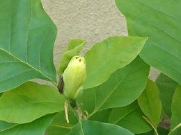 magnolia greffé yellow bird