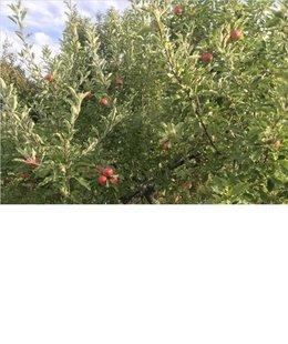 Identification Pommiers et poirier