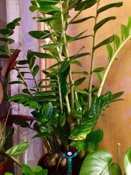 Zamioculcas Zamiifolia en détresse