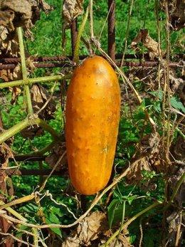 Concombre orange / brun