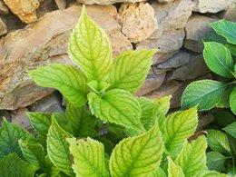 Hortensia feuilles se décolorent