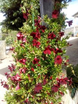 dipladenia - feuilles tachées