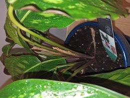 Calathea nouvelles feuilles qui sèchent
