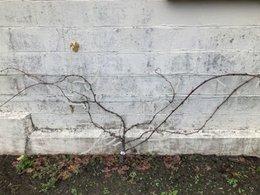 Comment tailler cette vigne