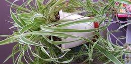 Longue racine chlorophytum apparente