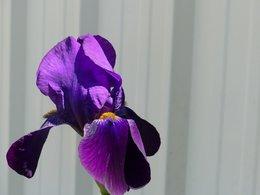 Avez vous des iris au jardin ?