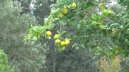 Un citronnier...