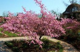 Entretien du cerisier